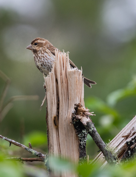 Female Purple Finch