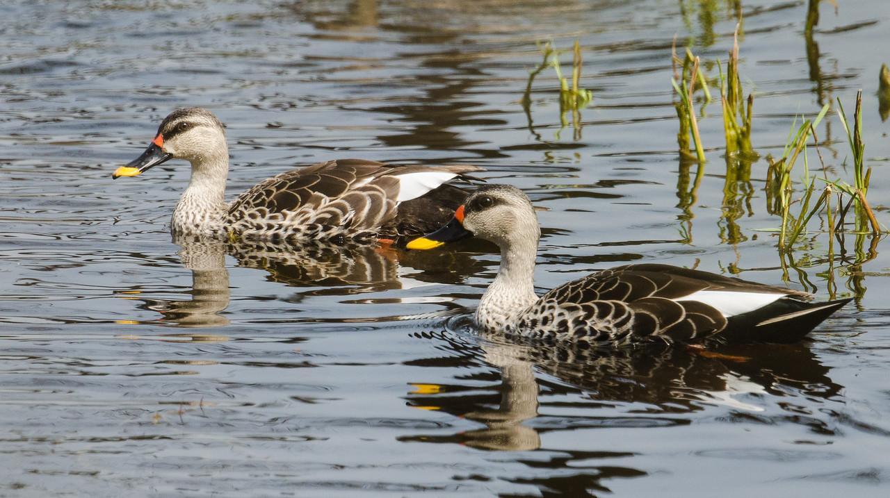 Indian Spot-billed Duck