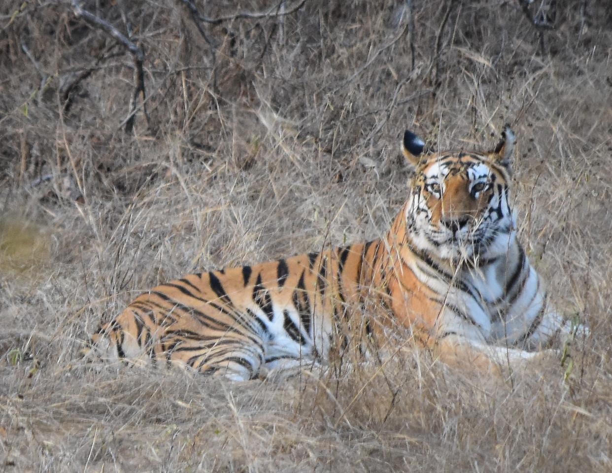 Tiger at Panda National Park, India