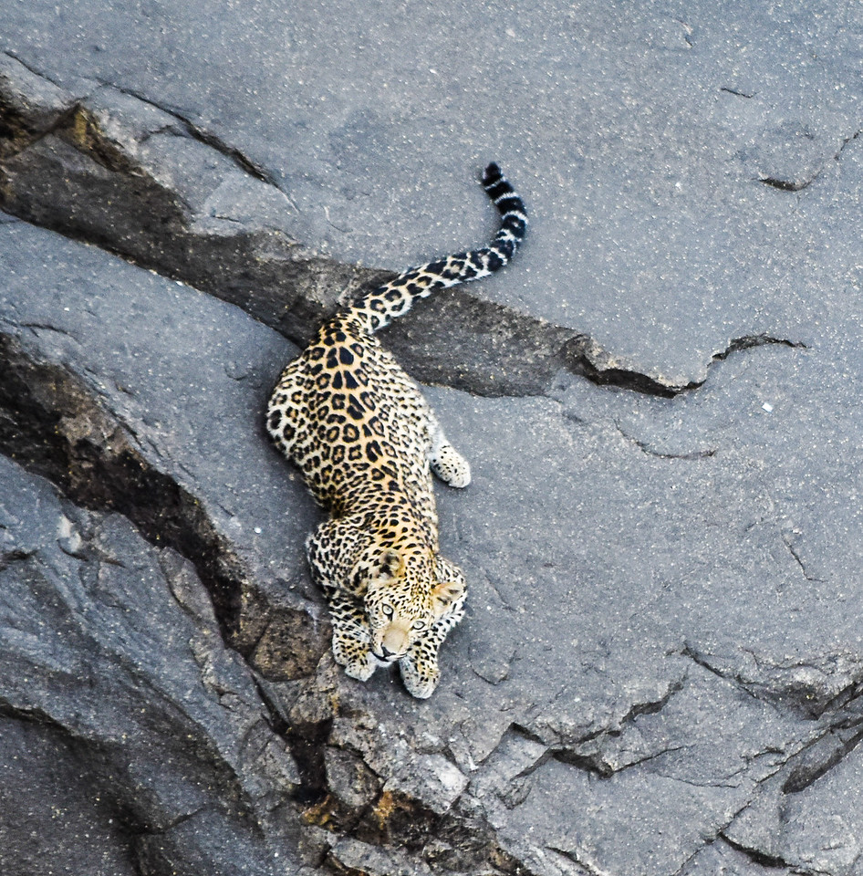 Leopard, Panna National Park