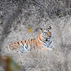 Tiger in Repose, Panna National Park, India