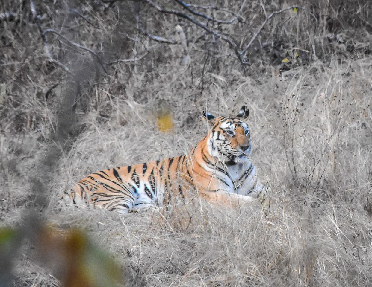 Tiger in Repose, Panna National Park, India