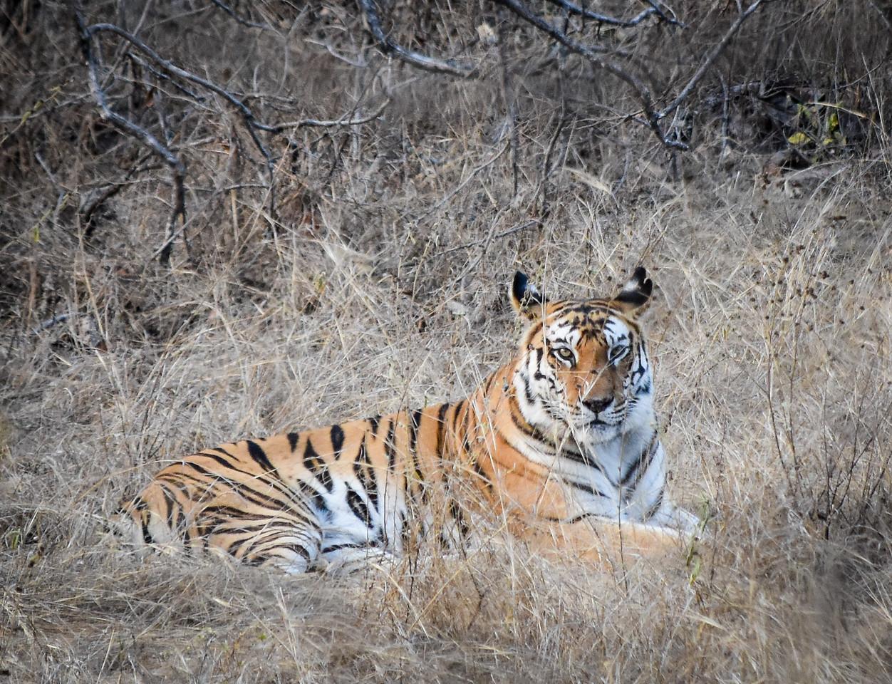 Tiger, Panna National Park