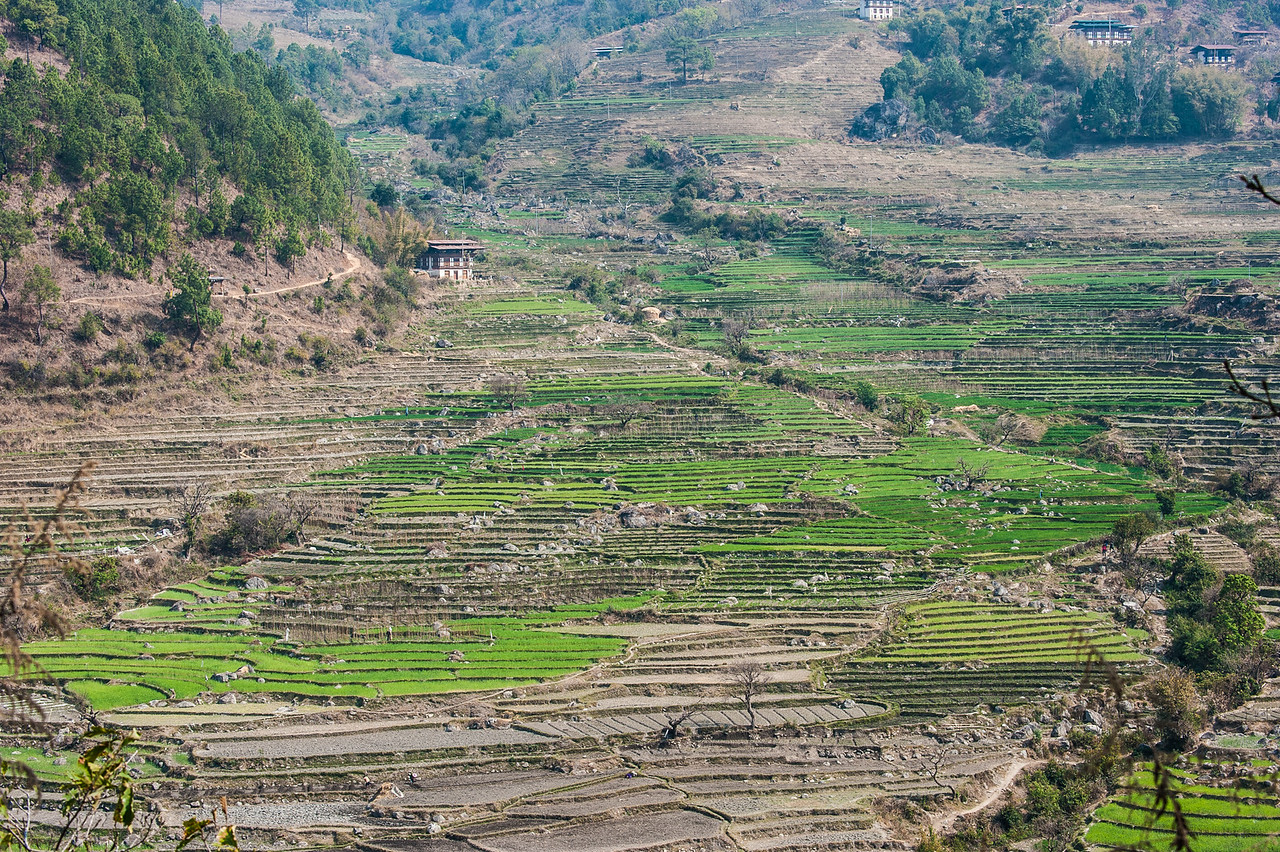 Terraced Field View on Namgyal Chorten Hike, Punakha Valley