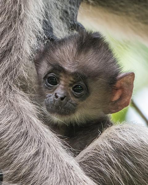 Baby Tufted Gray Langur