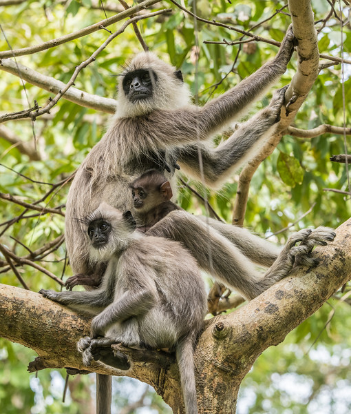 Family of Tufted Gray Langurs