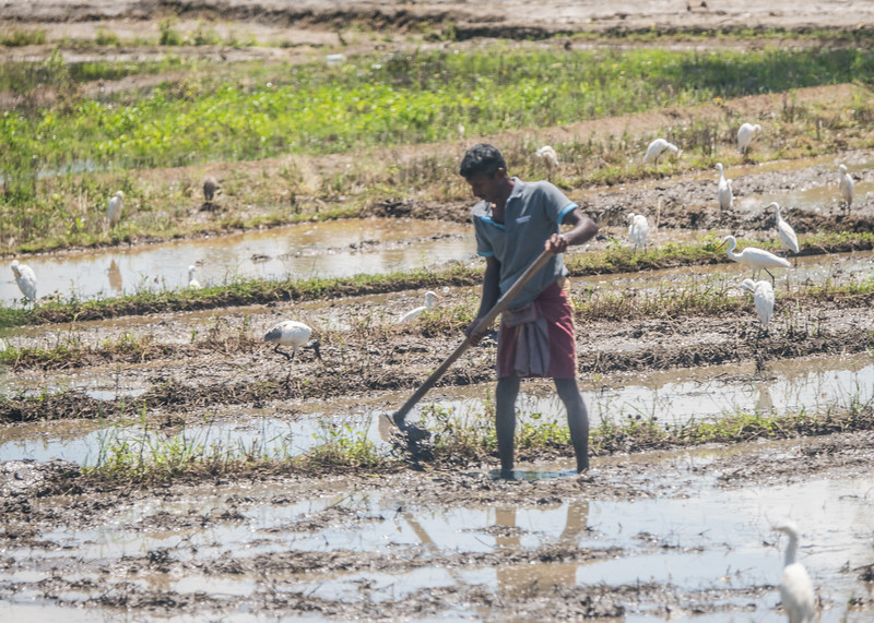 Labor in the Rice Paddies