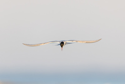 Common Tern , Fisktärna