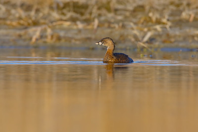 Pied-bill Grebe at Sunset
