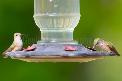 Rufous and Calliope Hummingbirds (Female)
