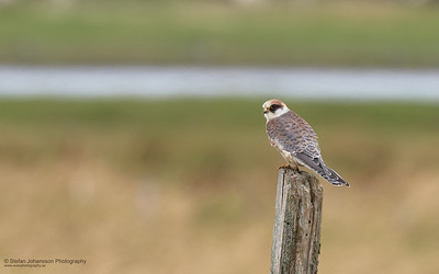 Aftonfalk (Falco vespertinus),