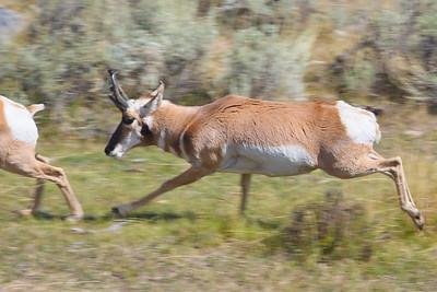 Pronghorn Buck Pursuing a Doe
