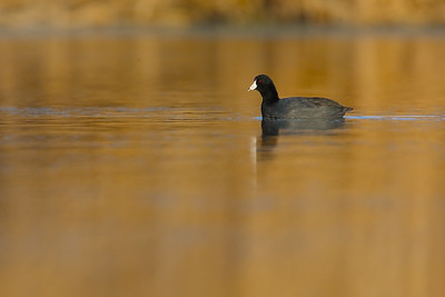 American Coot at Sunset