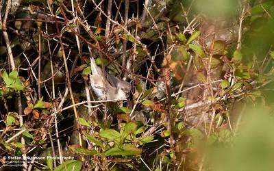 Höksångare (Sylvia nisoria)