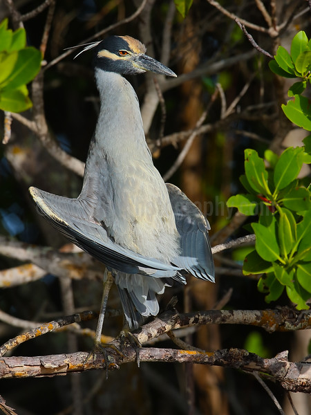 Sunning Yellow-crowned Night Heron