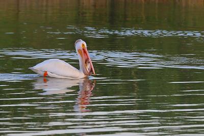 American White Pelican with Carp