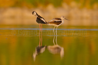 Black-necked Stilt and American Avocet