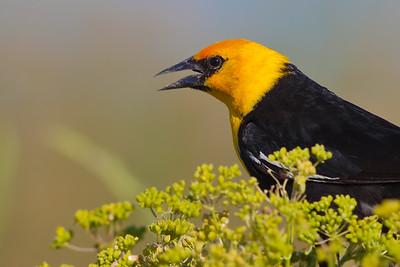 Juvenile Yellow-headed Blackbird