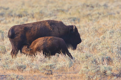 Bison Mother and Calf