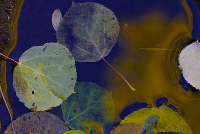 Aspen Leaves in Water
