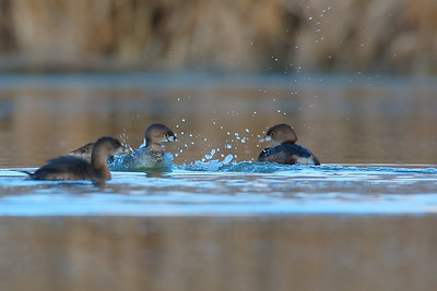 Duelling Pied-bill Grebes