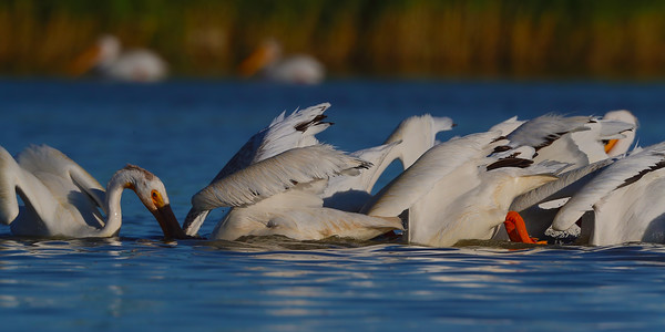 American White Pelicans Group Fishing