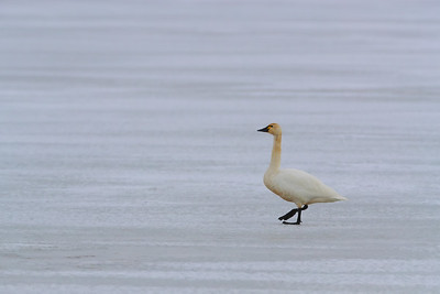 Tundra Swan on Ice