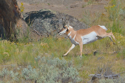Pronghorn Buck in Gallop