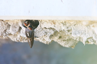 Home Inspection: Female Swallow Surveying a Nest