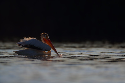 American White Pelican at Sundown