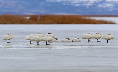 Tundra Swans Resting During Migration