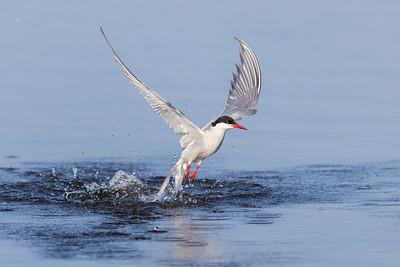 Arctic Tern , Silvertärna