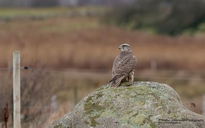 Jaktfalk (Falco rusticolus)