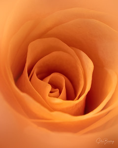 Peach Rose II