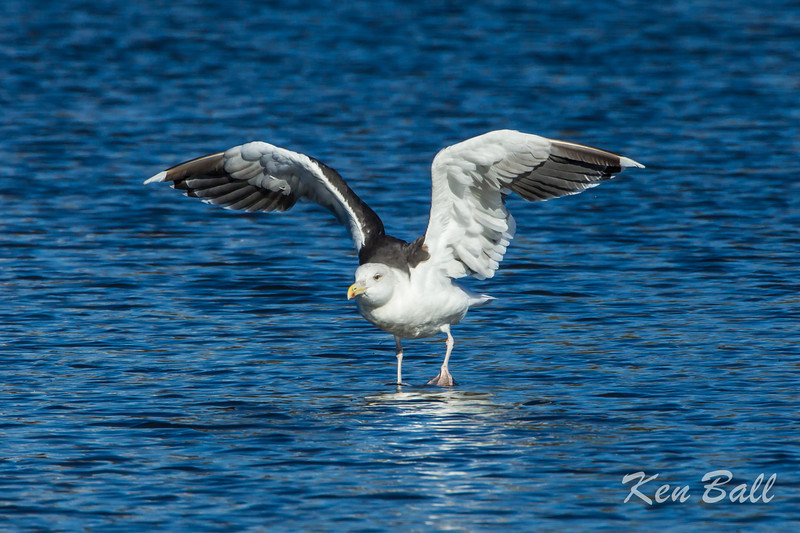 """I'm Great and I'm Black-Backed""<br /> Dows Lake, great black-backed gull: Larus marinus"