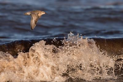 kustsnäppa, ungfågel