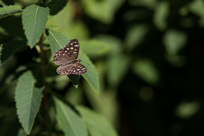 kvickgräsfjäril, Tåssjö