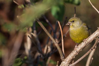 grönfink, hane