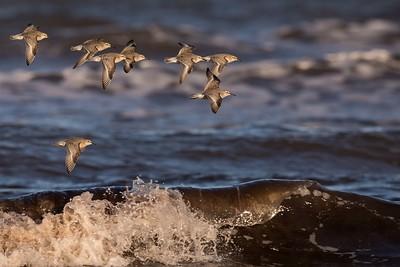kustsnäppa, ungfåglar