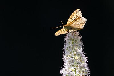 silverstreckad pärlemorfjäril, Tåssjö