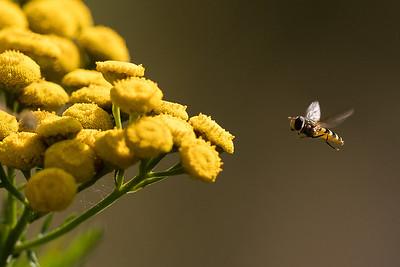 blomfluga av någon art på renfana