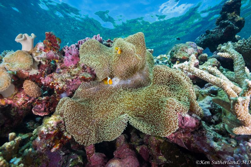 Coral Scene with Merten's sea anemone