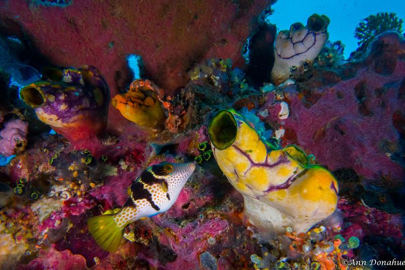 Sharpnose Puffer fish coral scene