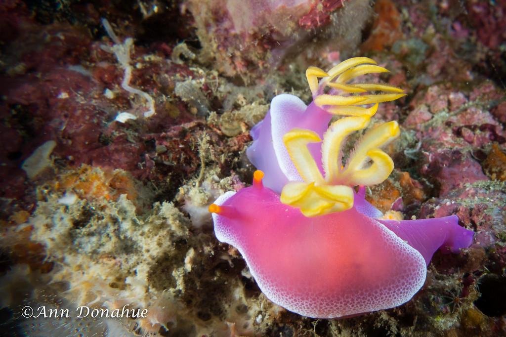 Chromodoris Bullocki Nudibranchs