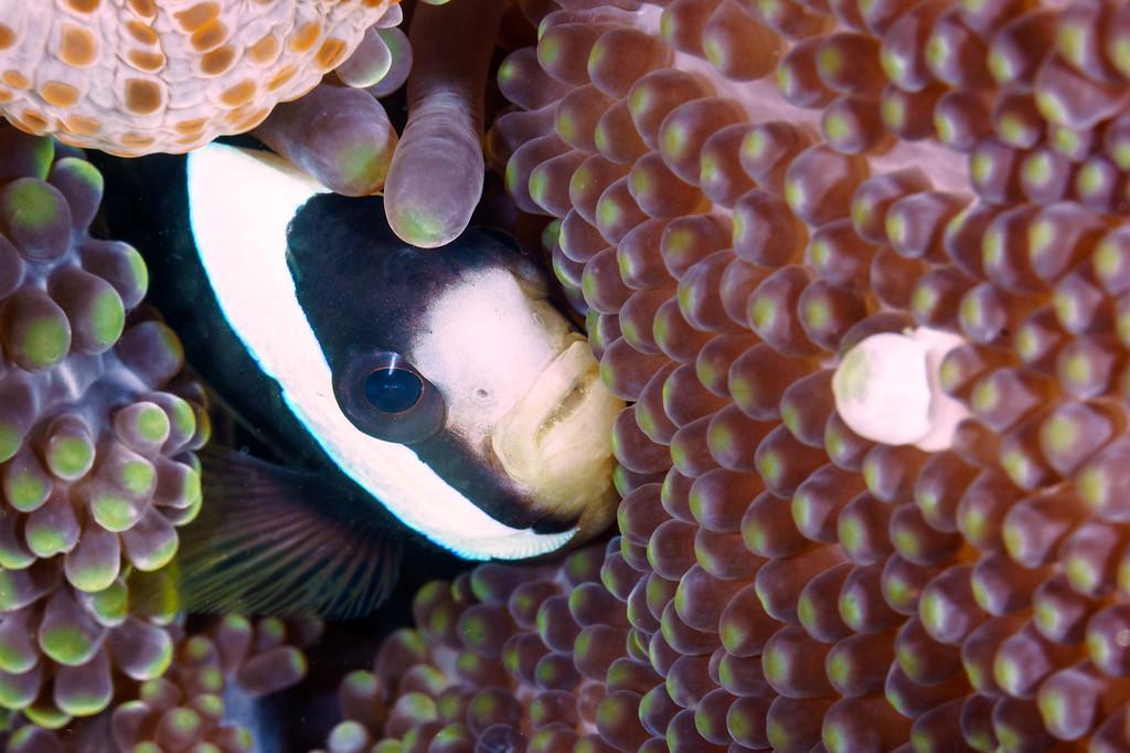 Clark's Anemone Fish
