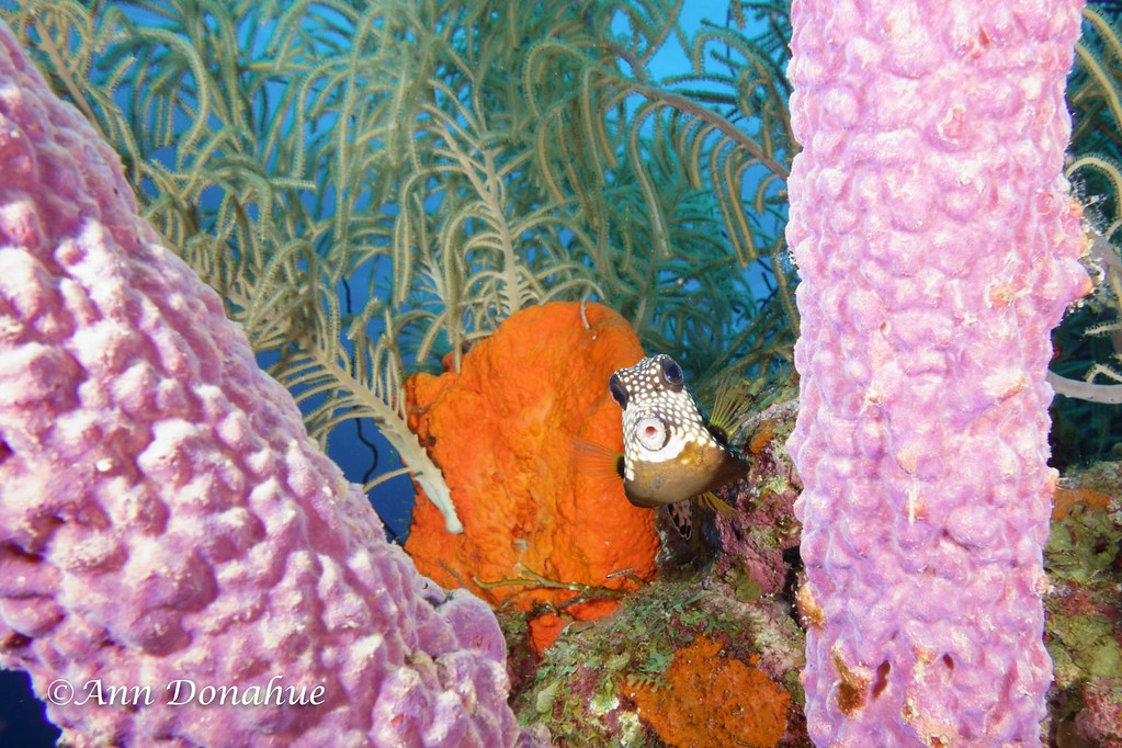 Smooth Trunkfish and Purple Sponges