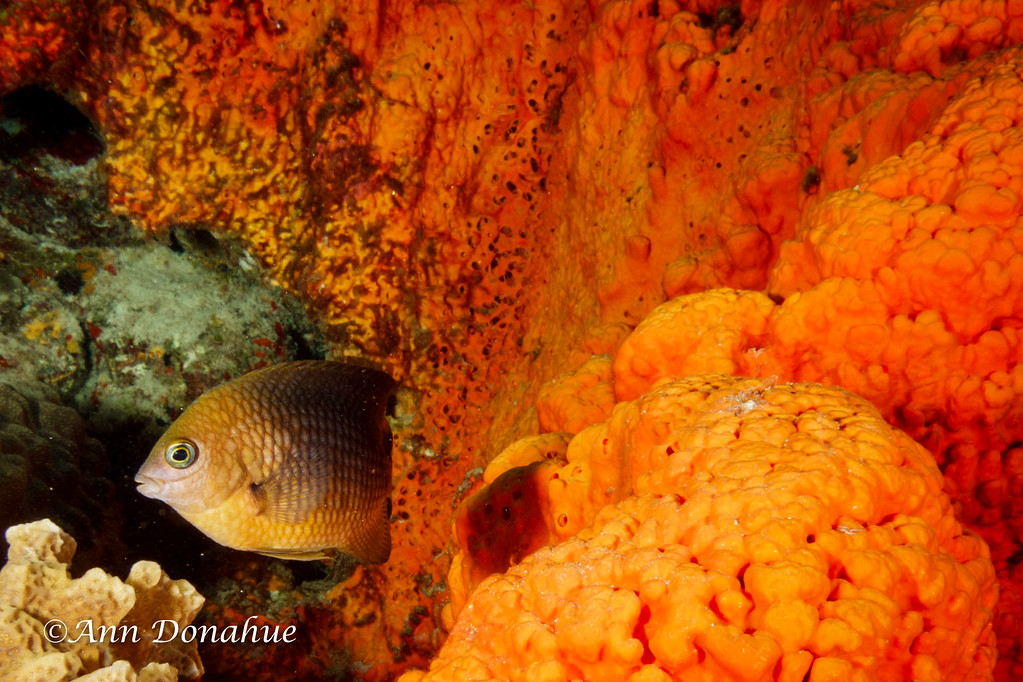 Damsel Fish and Orange Sponge