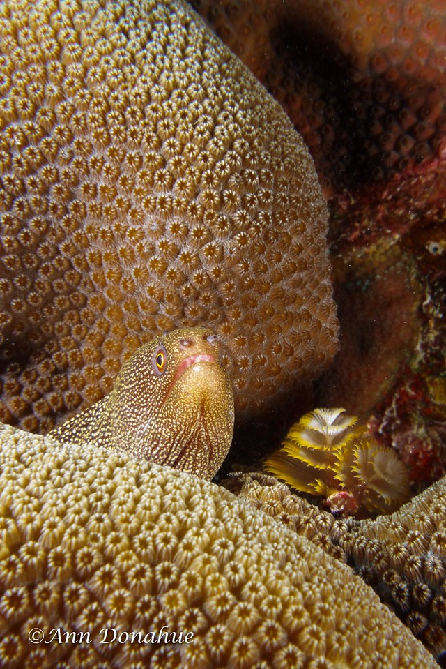 Goldentail Moray and Christmas Tree Worm