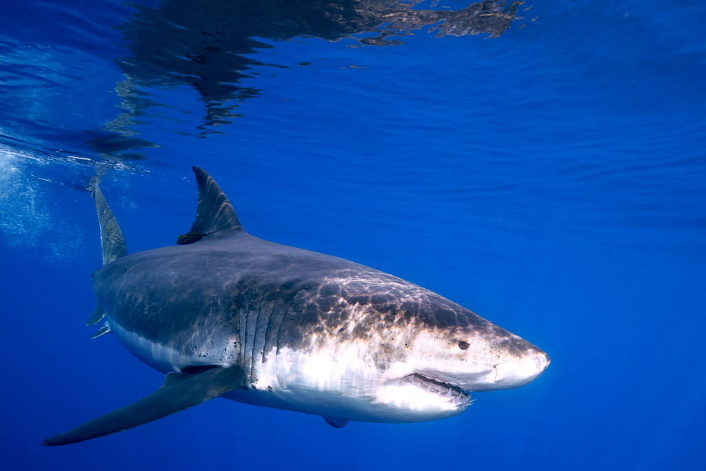 Fast Moving Shark