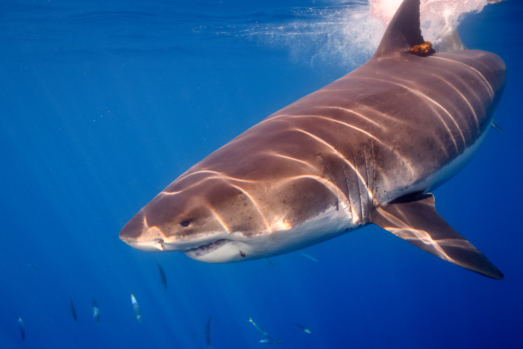 Grinning Shark